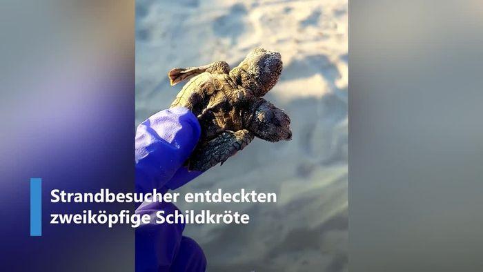 Zweiköpfige Schildkröte erstaunt Strandbesucher