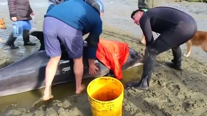 Wettlauf gegen die Zeit: Gestrandete Delfine gerettet
