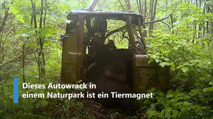 Tiermagnet: Bären und Tiger lieben verrostetes LKW-Wrack