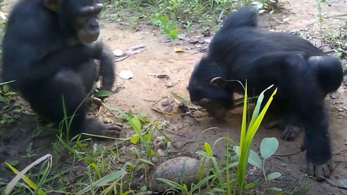 Neugierig? Schimpansen entdecken Schildkröten