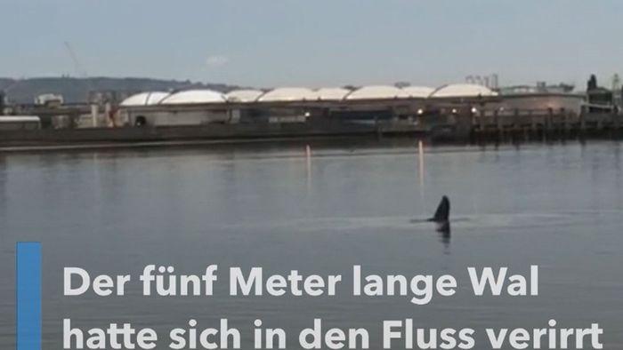 Verirrt: Wal in der Themse gesichtet