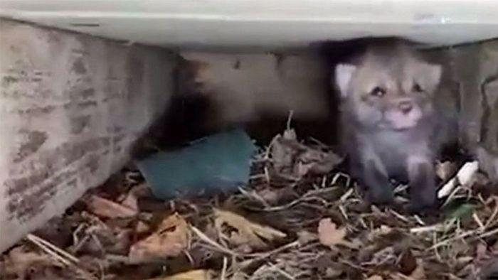Unter Veranda eingeschlossen: Süße Fuchsbabys gerettet