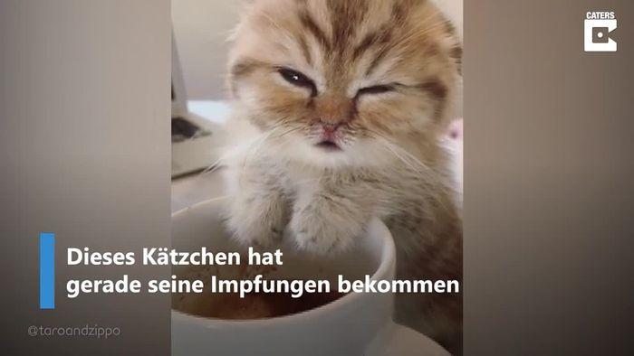 Ab ins Bett: Müdes Kätzchen fällt fast in Tasse