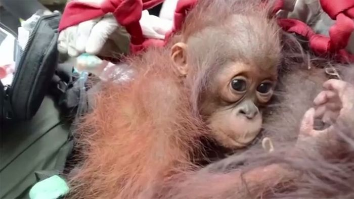 Hilfe für Orang-Utans: Mutter und Kind wieder zu Hause