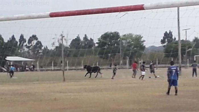 Aus Schlachthaus entkommen: Stier beendet Fußballspiel