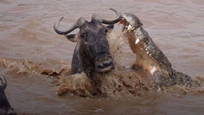Haarscharf: Gnu entkommt Krokodil-Attacke