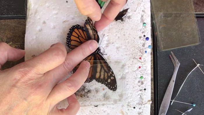 Verletzter Schmetterling bekommt Flügelprothese