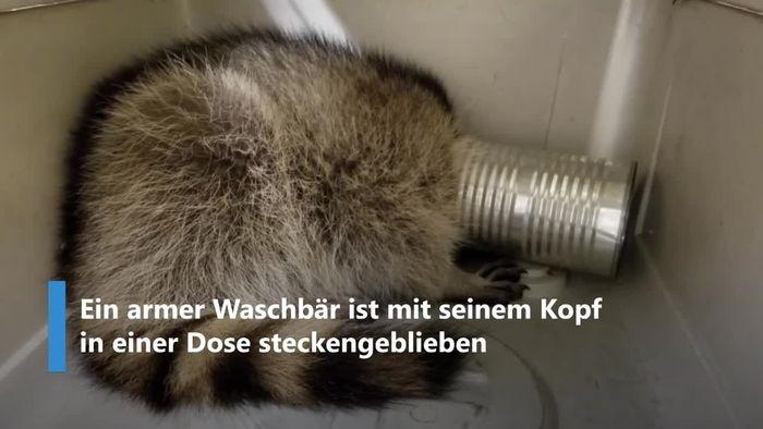 Dose auf dem Kopf: Armer Waschbär befreit