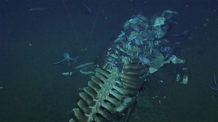 Tief am Meeresgrund: Tintenfische fressen toten Wal