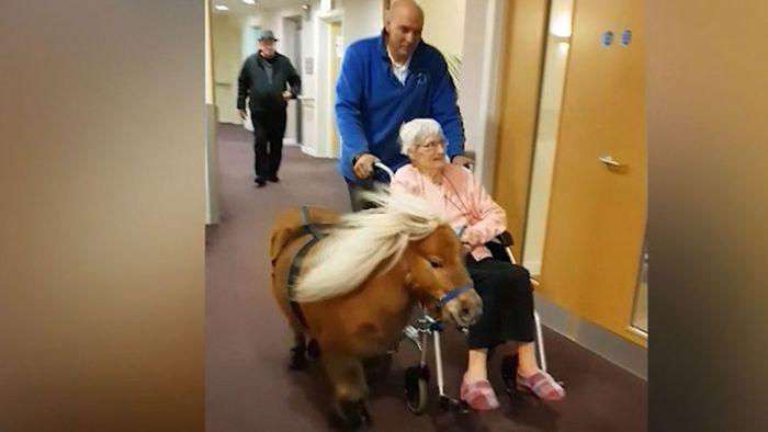 Rollstuhlkutsche: Pony zieht Senioren durch Flur