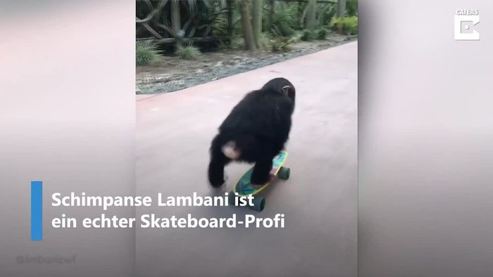 Skateboard-King: Mini-Schimpanse hat es einfach drauf