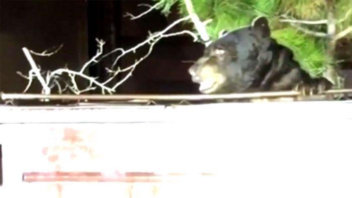 Dicker Brummer: Polizisten befreien Bären aus Müllcontainer