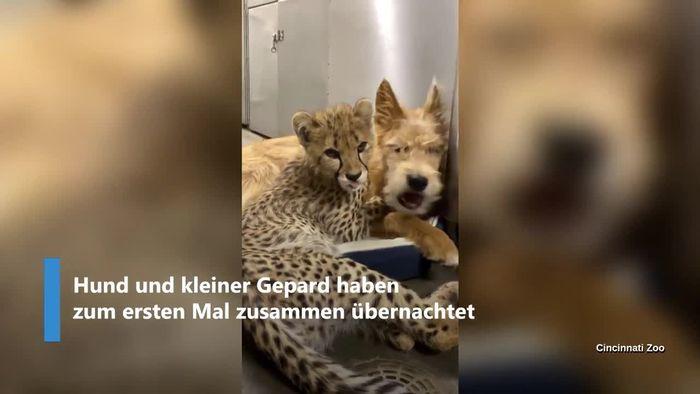 Ungewöhnliche Liebe: Kleiner Gepard kuschelt mit Hund
