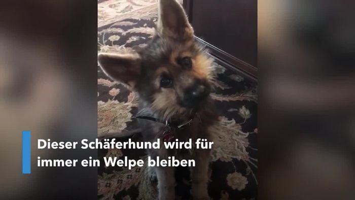Für immer ein Welpe: Kleinwüchsiger Schäferhund ist Instagram-Star