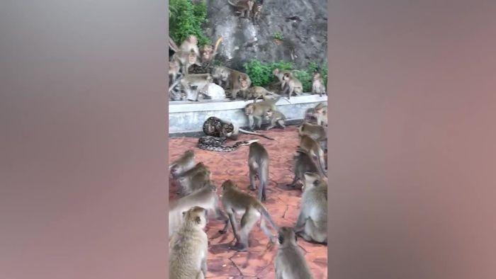 Python würgt Affen: Artgenossen schauen hilflos zu