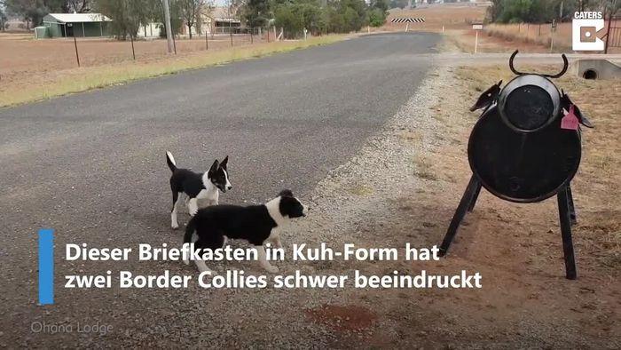 Hütehunde wegen Briefkasten-Kuh völlig irritiert