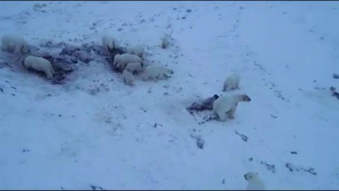 Kein Eis da: 56 Eisbären stecken an Küste fest