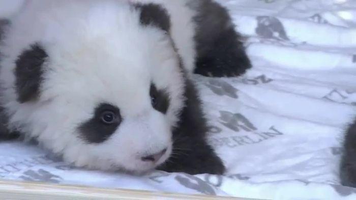 Namen der Berliner Panda-Zwillinge bekanntgegeben