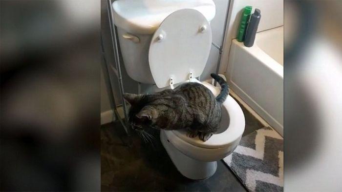 Wirklich stubenrein: Kater benutzt die Toilette