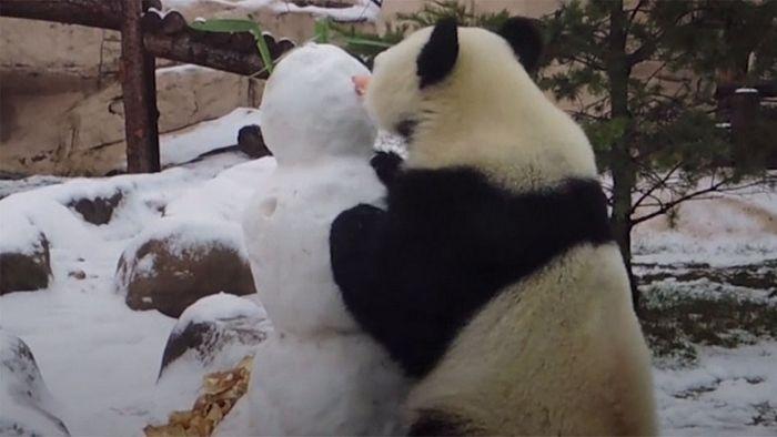 Panda nimmt Schneemann auseinander