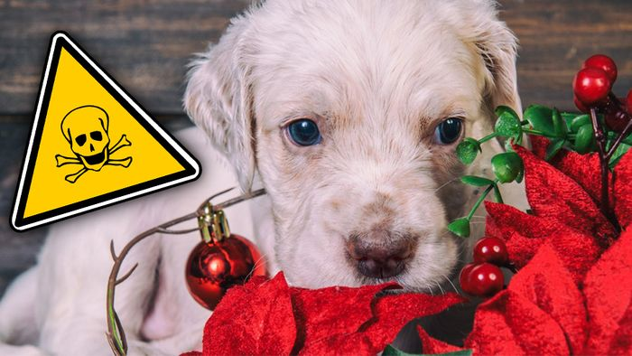Der Weihnachtsstern ist für Tiere besonders giftig.