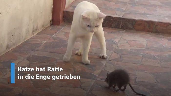 David gegen Goliath: Ratte attackiert Katze