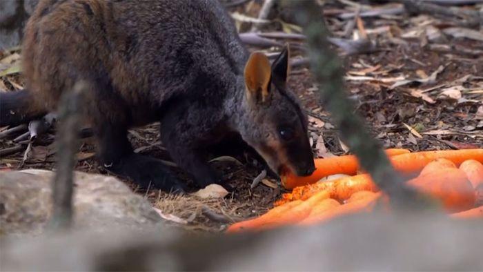 Luftbrücke für Felskängurus: Gemüse für Wallabys abgeworfen