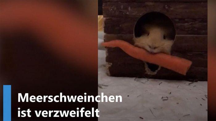 Meerschweinchen bekommt Karotte nicht ins Häuschen