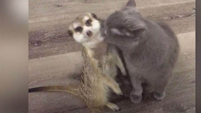 Erdmännchen und Katze sind beste Freunde