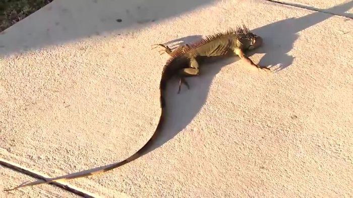 Zu kalt in Florida: Leguane fallen von Bäumen