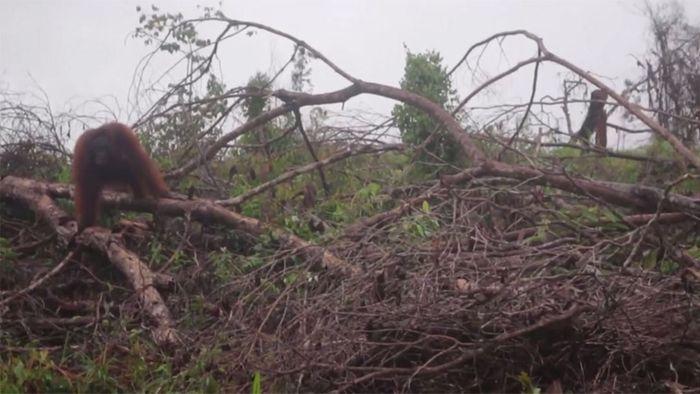 Herzzerreißend: Orang-Utan will zerstörte Heimat nicht verlassen