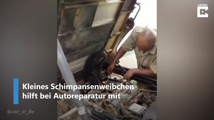 Schimpanse hilft bei Autoreparatur mit