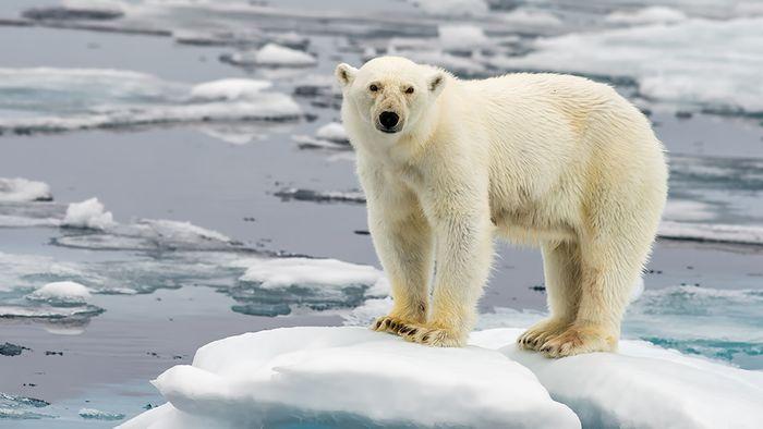 Der Klimawandel bedroht die Zukunft der Eisbären.