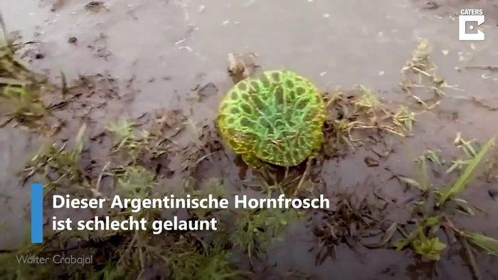 Vorsicht! Aggro-Frosch äußerst schlecht gelaunt