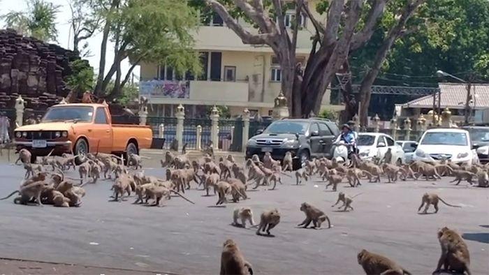 Corona-Folgen: Hunderte Affen streiten um Nahrung