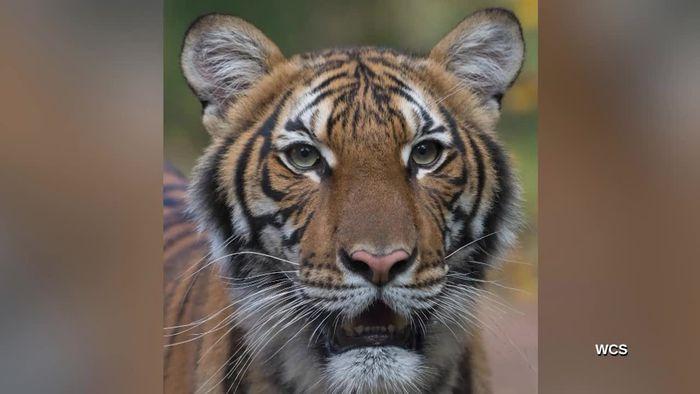 Hustensymptome: Tiger in New Yorker Zoo positiv auf Coronavirus getestet