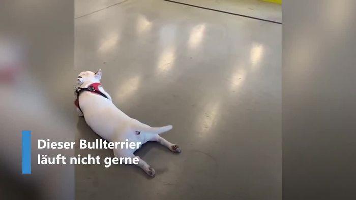 Er stellt sich sogar tot: Das ist der faulste Hund der Welt