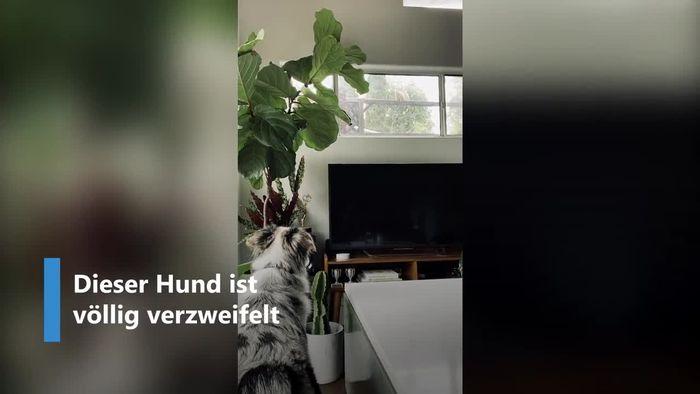 Schritt voraus: Freches Eichhörnchen bringt Hund um den Verstand