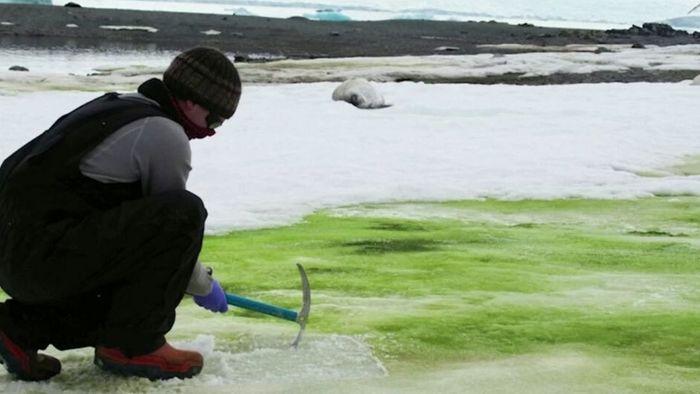 Klimawandel: Antarktis färbt sich grün