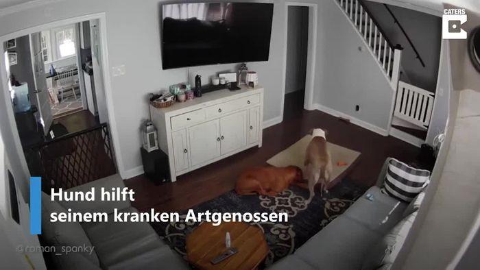 Rührend: Hund steht krankem Artgenossen zur Seite