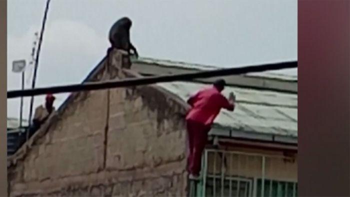 Mann will Pavian verjagen – doch der schlägt zurück