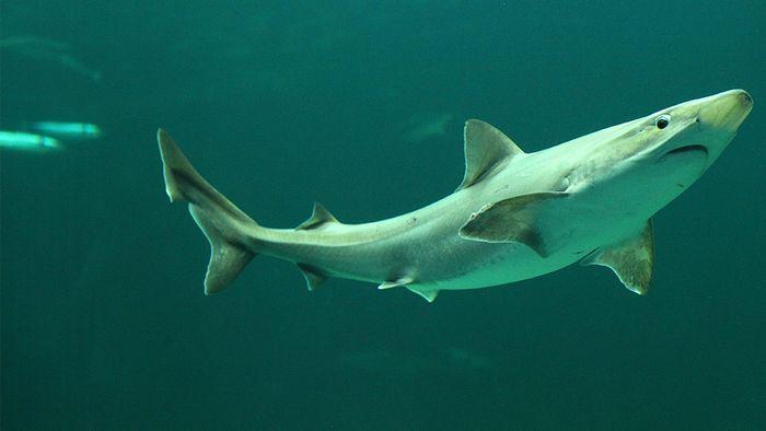In der Ostsee gibt es 18 verschiedene Arten von Haien.