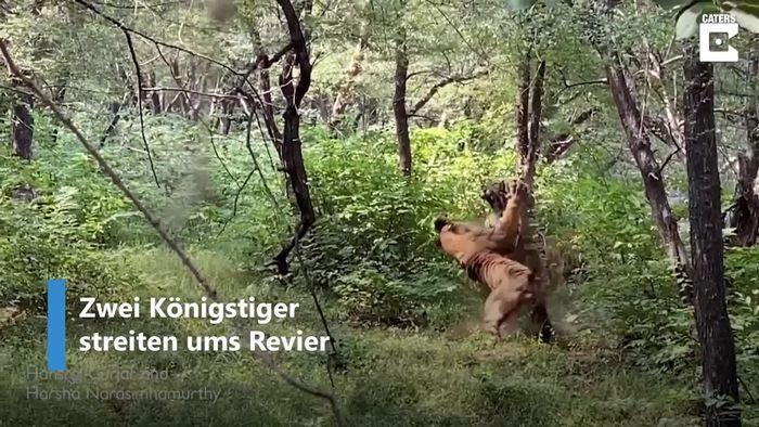 Gnadenloser Revierkampf: Königstiger gehen aufeinander los