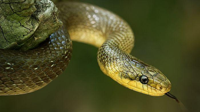 In Deutschland gibt es sieben verschiedene Schlangenarten.