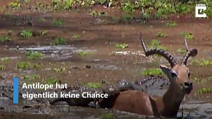 Von Krokodilen umzingelt: Antilope hat keine Chance - und nutzt sie