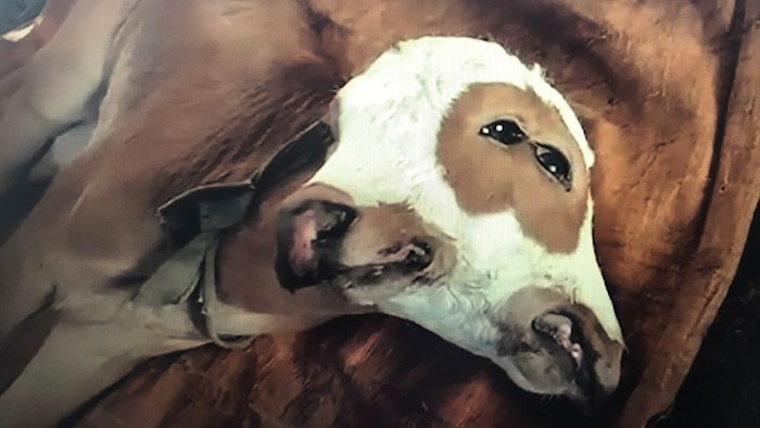 Kalb mit zwei Köpfen: Bizarre Kuh geboren
