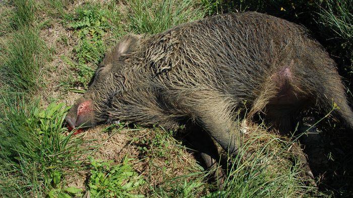 Wildschwein infiziert: Afrikanische Schweinepest in Deutschland angekommen