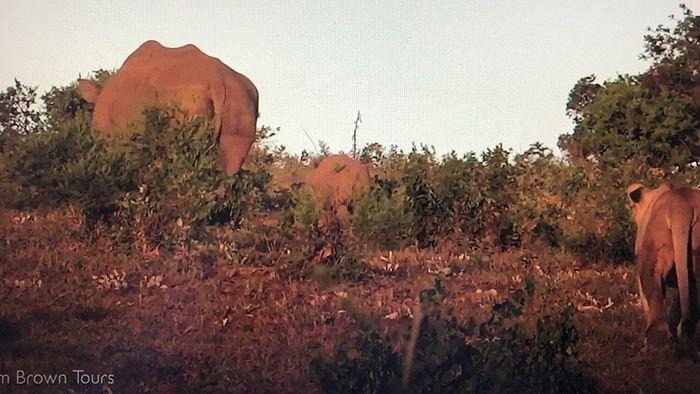 Bange Sekunden: Löwe attackiert Nashorn-Baby aus dem Hinterhalt