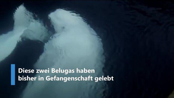 Aus Aquarium befreit: Belugawale lernen Leben im Ozean