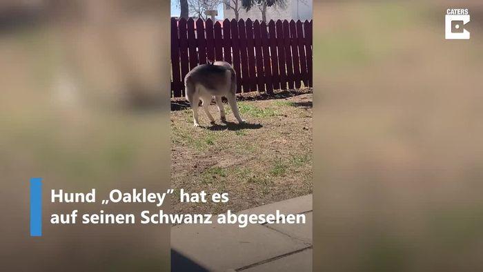 Tollpatschiger Hund jagt eigenen Schwanz - und scheitert grandios!